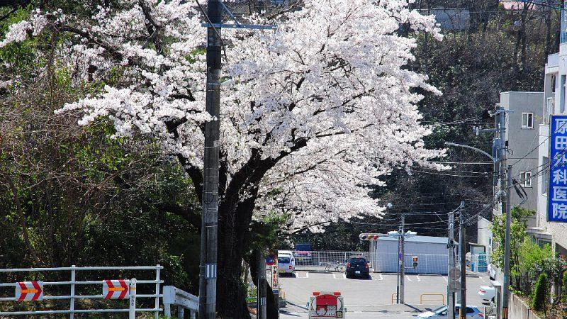 桜ケ丘の、さくら