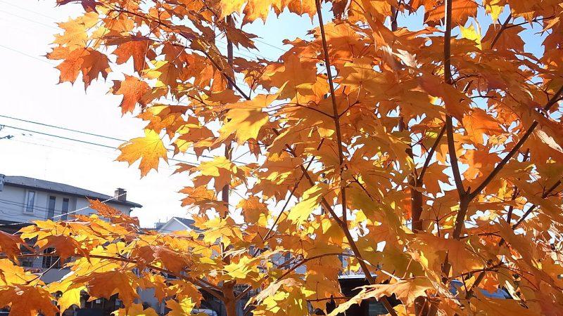 シュガーメープルの秋景色
